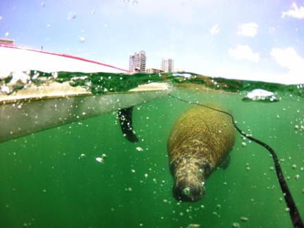 Paddleboarding with Manatees! (Photo: @windtraveler)